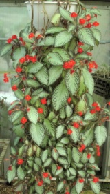 large cascading episcia in hanging basket